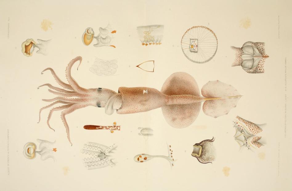 Los viajes del príncipe Alberto I de Mónaco, ilustrados. Cefalópodos (1 de 2)